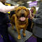 I am Humphrey Bogart, a French Mastiff from New Jersey  at the143rd Westminster Kennel Club Dog Show in New York