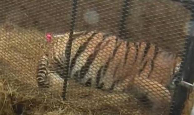 Pot smokers find caged tiger in abandoned house