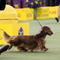 """Walmar-Solo's OMG"" a longhaired Dachshund won first in the Hound Group at the 143rd Westminster Kennel Club Dog show at Madison Square Garden in New York"