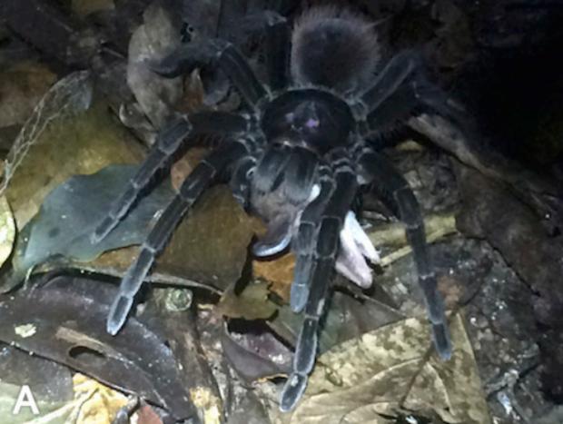 Spider Eating Possum Giant Tarantula Spider Drags Away