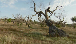 A pathogen is destroying Italy's olive trees