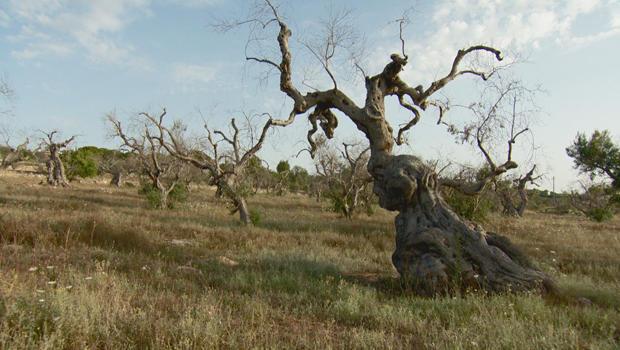 Olive trees in peril: In Italy's Puglia region, a major