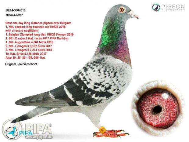 Armando the racing pigeon purchased from Belgium breeder for