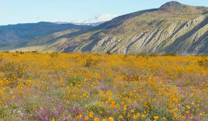 Nature: Superbloom