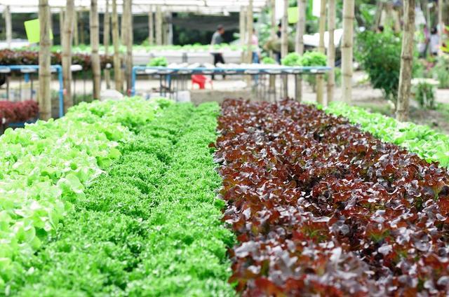 recall-red-green-lettuce.jpg