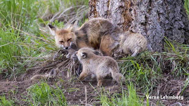 fox-tug-of-war-verne-lehmberg-620.jpg