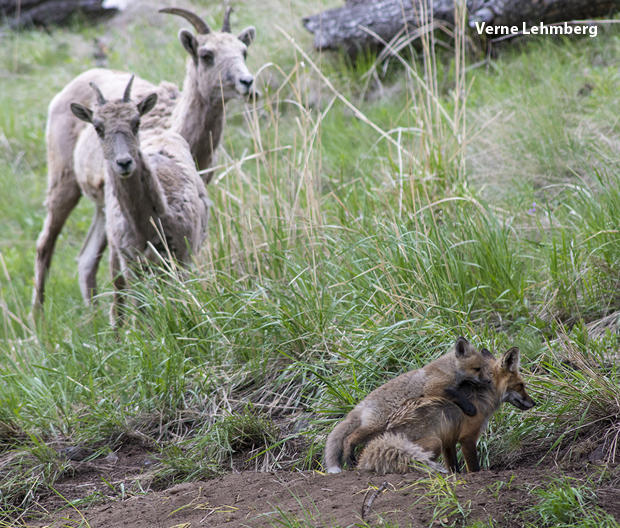 fox-kits-with-goats-verne-lehmberg-620-tall.jpg