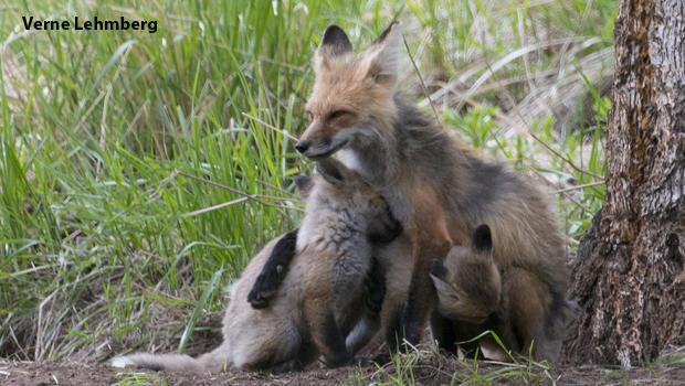 fox-vixen-and-kits-verne-lehmberg-620.jpg