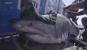 Great white sharks tracked off the Carolina coast