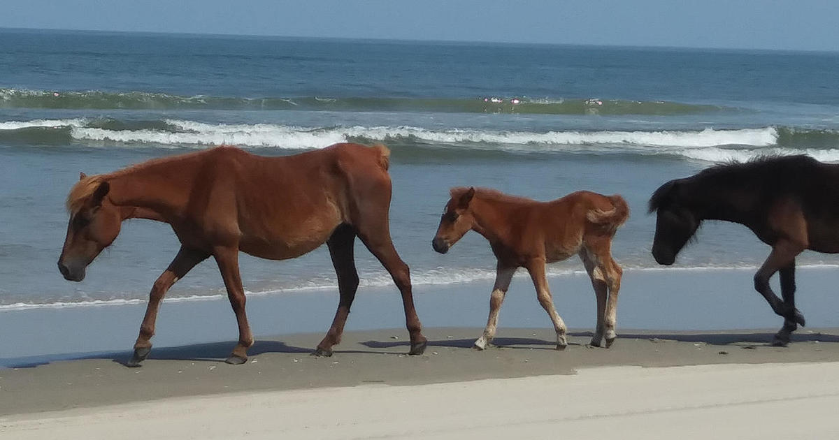 Nature up close: Wild horses of the Outer Banks