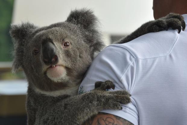 AUSTRALIA-SCIENCE-ANIMAL-GENETICS-CONSERVATION-KOALA