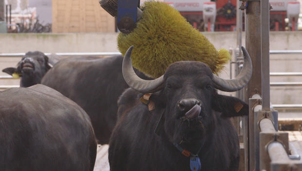 mozzarella-pampered-buffalo-at-tenuta-vannulo-620.jpg