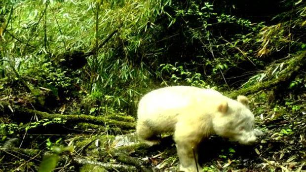 cbsn-fusion-first-ever-photo-of-white-albino-panda-revealed-thumbnail-1860119-640x360.jpg