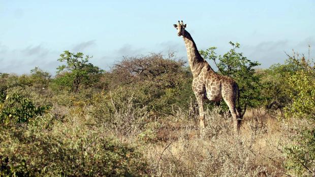 giraffe-giraffes-zimbabwe-040919-broll-00-08-06-16-still002.jpg