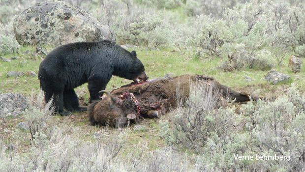 bear-on-bison-carcass-verne-lehmberg.jpg