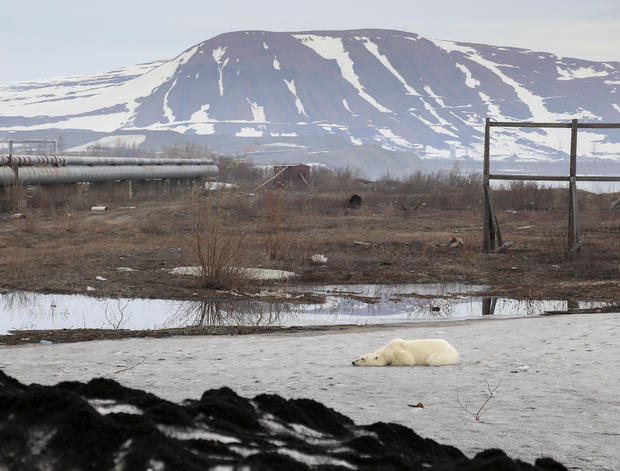 A stray polar bear is seen in the industrial city of Norilsk