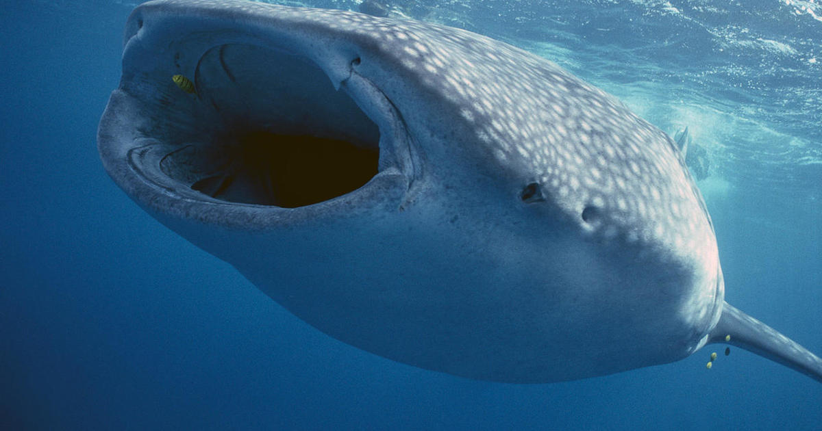 Nature up close: Swimming with whale sharks