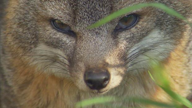 channel-island-fox-620.jpg