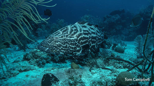 grouper-waiting-for-a-meal-photo-by-tom-campbell-620.jpg