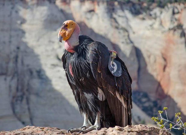california-condor-409-zion-national-park-promo.jpg