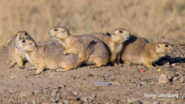 prairie-dog-family-verne-lehmberg.jpg