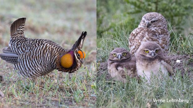 greater-prairie-chicken-burrowing-owls-verne-lehmberg.jpg