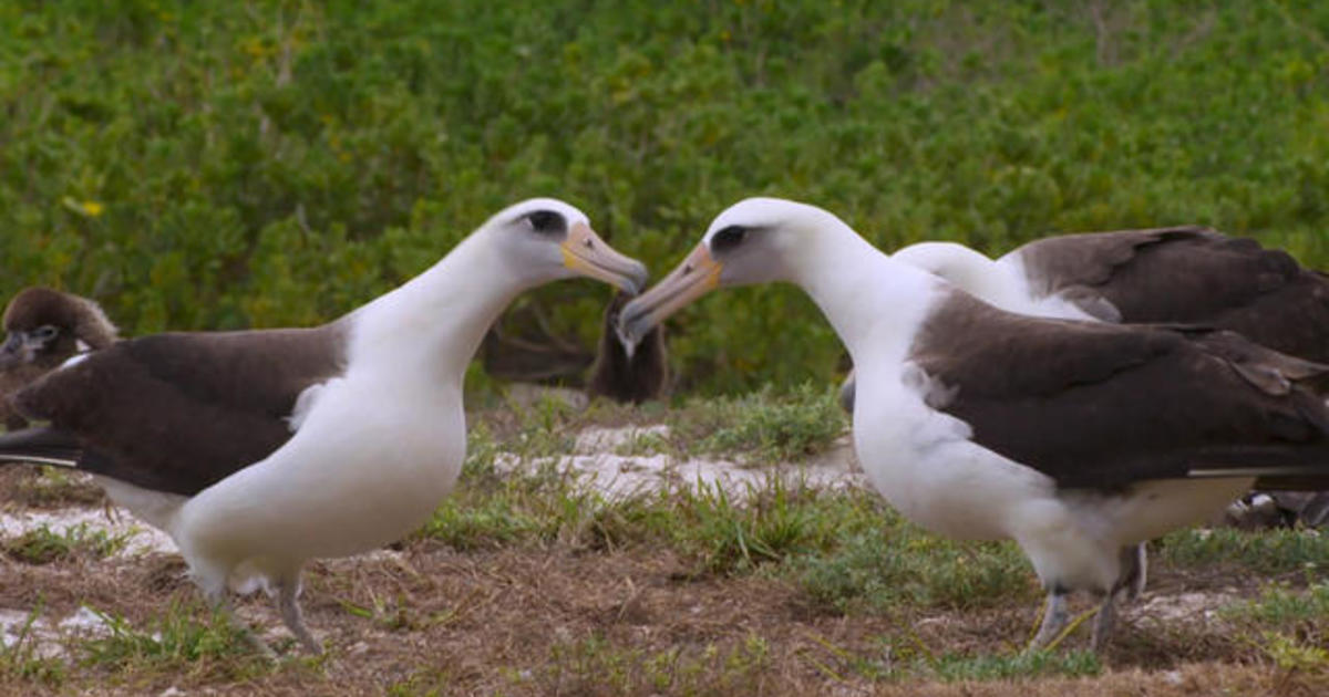 Courtship on Midway: the impressive dance moves of a love-struck albatross