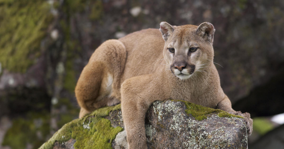 Colorado mountain lion attack: Colorado man uses pocketknife to fight off mountain lion near Kremmling