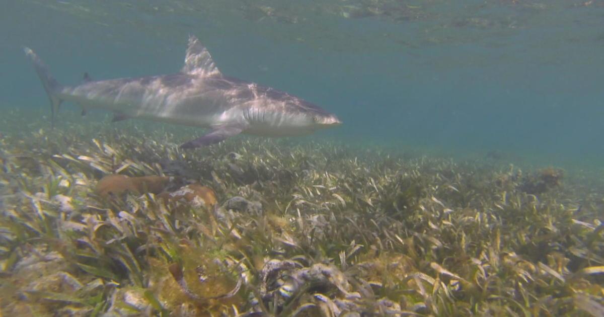 Sharks gather for annual underwater mating dance near Florida island