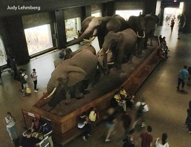 akeley-elephants-amnh-judy-lehmberg-620.jpg