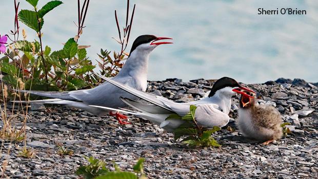 arctic-tern-family-sherri-obrien-620.jpg