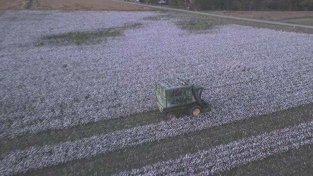 harvesting-cotton-620.jpg