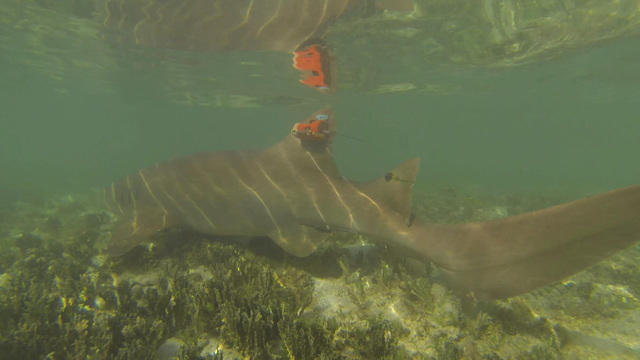 0903-ctm-nursesharkmating-phillips-1925463-640x360.jpg