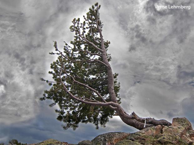 white-bark-pine-verne-lehmberg-620.jpg