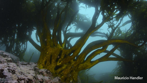 the-holdfasts-and-stipes-of-kelp-mauricio-handler-620.jpg