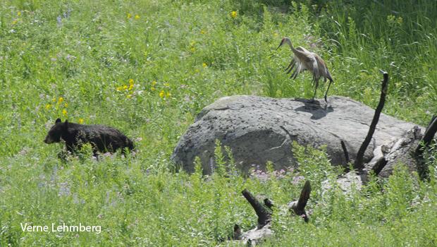 black-bear-vs-sandhill-crane-verne-lehmberg-620.jpg