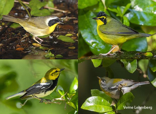 bird-species-common-yellowthroat-kentucky-warbler-black-throated-green-warbler-northern-parula-verne-lehmberg-620.jpg