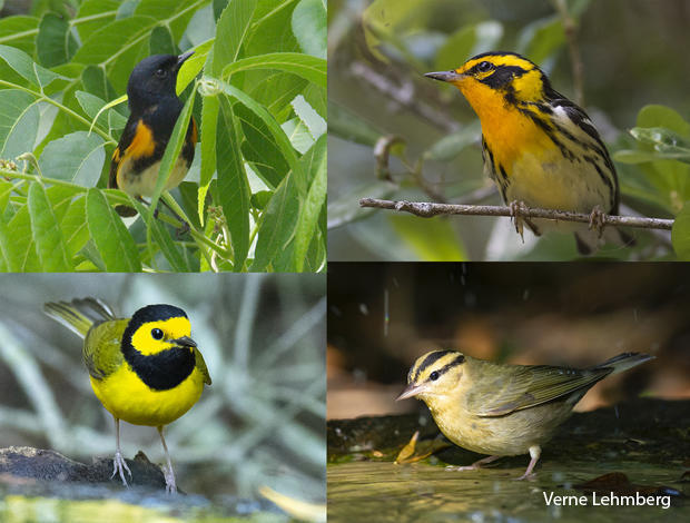bird-species-american-redstart-blackburnian-warbler-hooded-warbler-worm-eating-warbler-verne-lehmberg-620.jpg