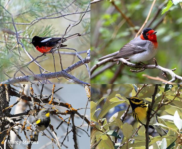 bird-species-painted-redstart-red-faced-warbler-yellow-rumped-warbler-townsends-warbler-marcy-starnes-620.jpg