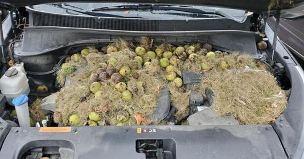 Squirrels stashed over 200 walnuts under the hood of a woman's car