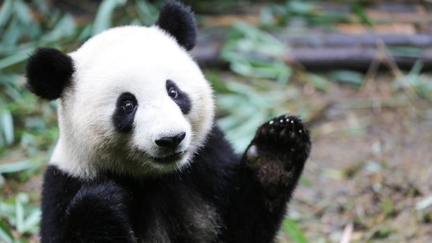 Giant Pandas: Photos from the 60 Minutes report