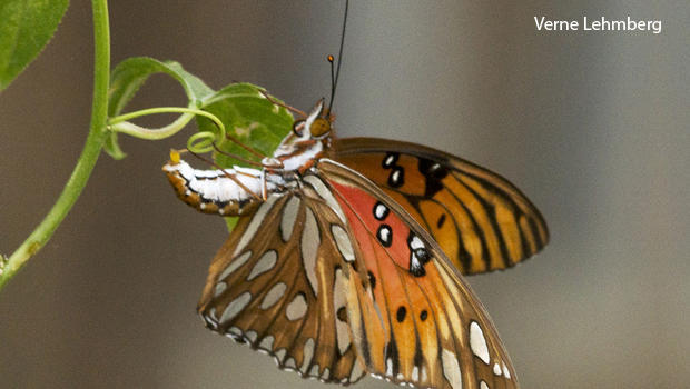 gulf-fritillary-butterfly-laying-egg-on-passionflower-vine-verne-lehmberg-620.jpg