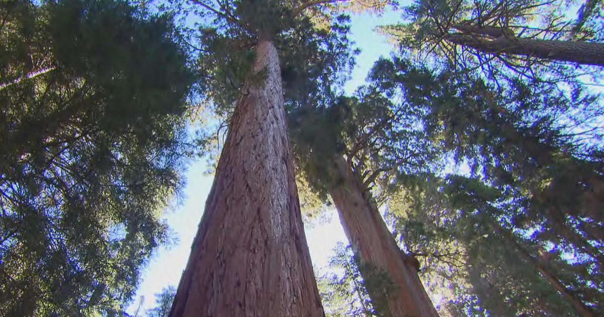 Treetop science: Measuring the changing climate's effects on California sequoias