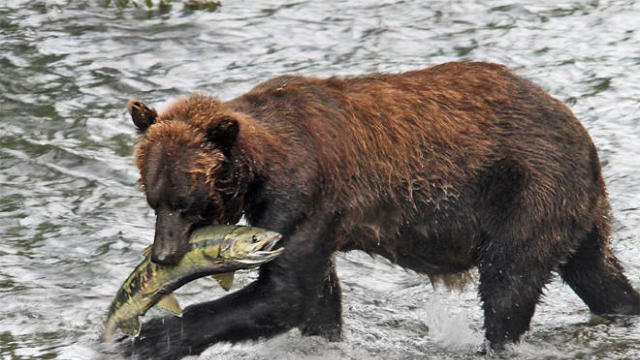 brown-bear-with-chum-salmon-sherri-obrien-promo.jpg