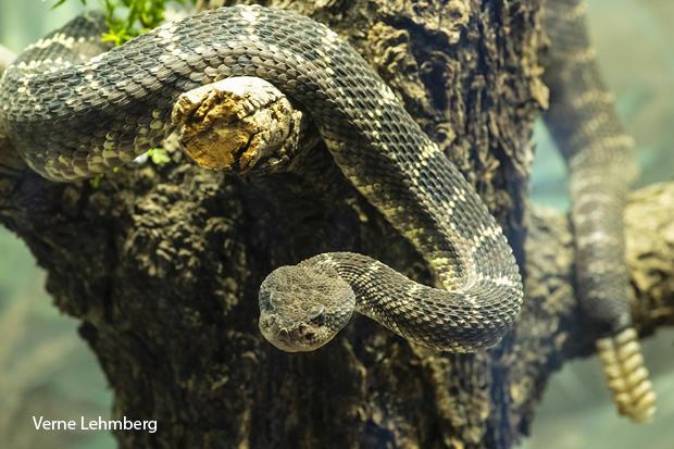 black-rattlesnake-verne-lehmberg-620-tall.jpg