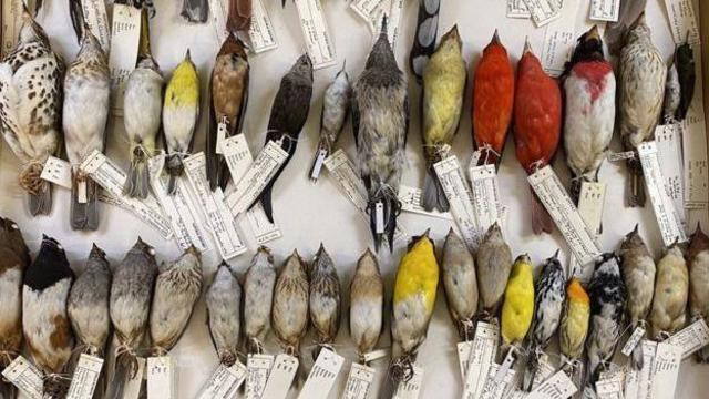 110003722-drawerofbirdsinfmcollections-cfieldmuseumbenmarks.jpg