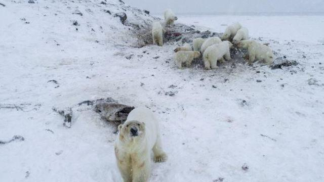 wwf-polar-bears-russia.jpg