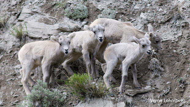 a-group-of-bighorn-lambs-resting-on-a-cliff-side-after-a-game-of-chase-verne-lehmberg-620.jpg