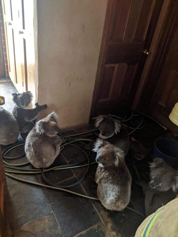 Six koalas sit indoors in Cudlee Creek