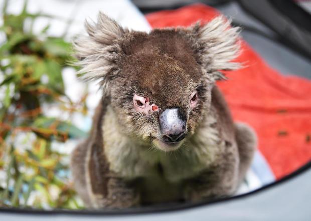 Labour Leader Anthony Albanese Visits Adelaide Koala Rescue